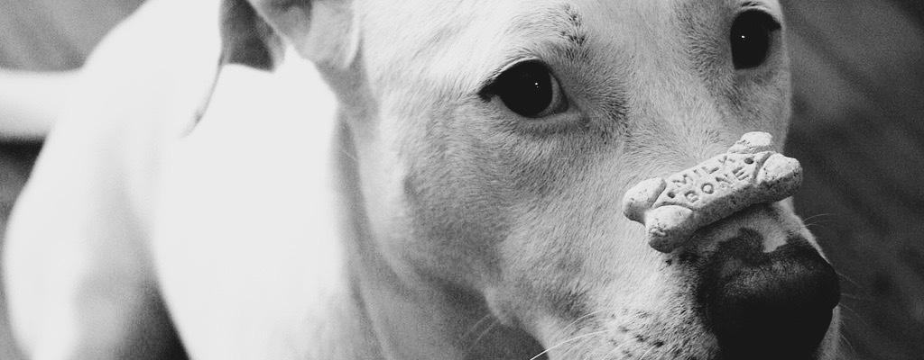 Dog balancing treat on nose. Photo by Philip Bump, CC. https://www.flickr.com/photos/pbump/